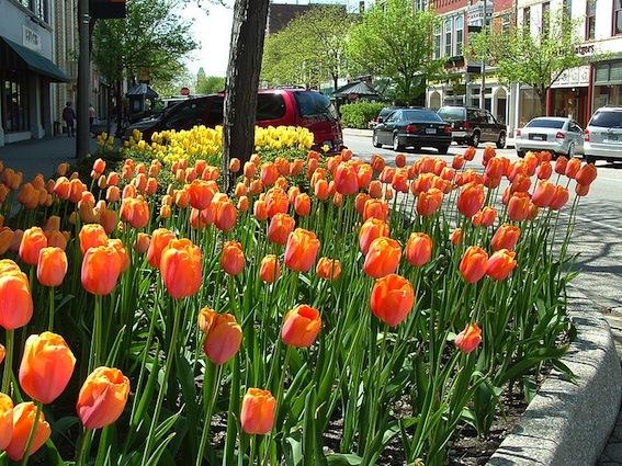 800px-Holland_MI_Tulips_02
