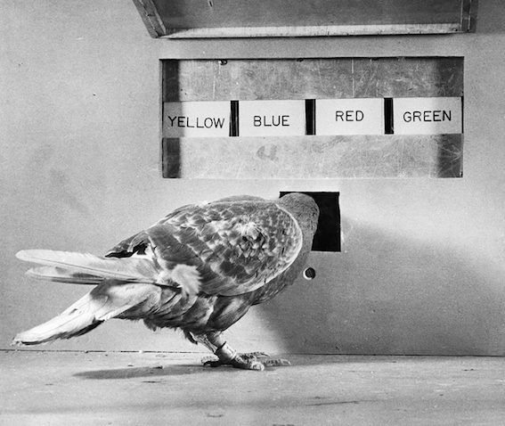 A Pigeon Involved in a Psychological Experiment